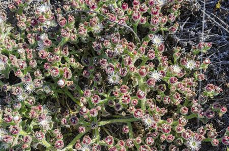 mesembryanthemum crystallinum: Mesembryanthemum crystallinum in Fuerteventura, Canary Islands, Spain