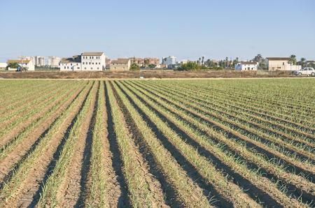 Fields of garden vegetable in Valencia, Huerta de Valencia Foto de archivo