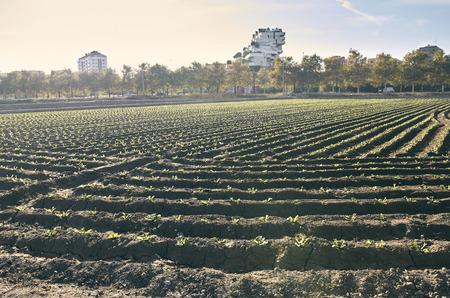 Fields of garden vegetable in Valencia, Huerta de Valencia Stok Fotoğraf
