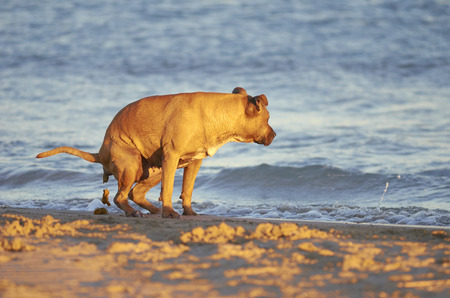 American Staffordshire terrier dog pooing on a beach.
