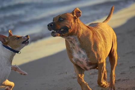 American Staffordshire terrier and Mongrell dog, Podenco, Jack Russel terrier running on a beach