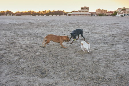 American Staffordshire terrier and Mongrell dog, Podenco, Jack Russel terrier and Doberman running on a beach.