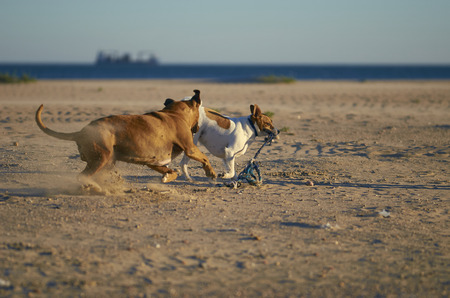 American Staffordshire terrier abd Mongrell dog, Podenco, Jack Russel terrier running on a beach
