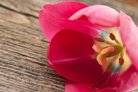Close up tulip on rustic wooden background. Selective focus.