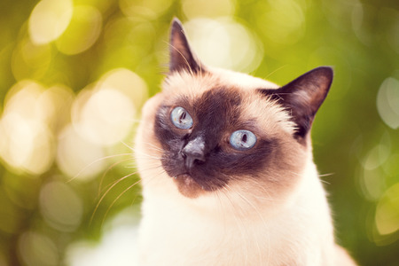 Portrait of a Siamese cat on a green summer background. Selective focus. Toned image