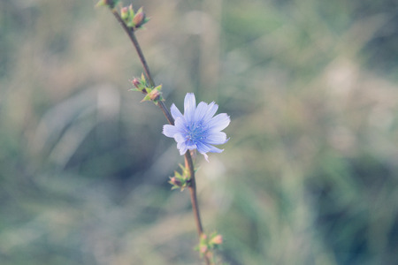 Close-up of chicory (succory). Wild plant on blurred background. Soft focus. 免版税图像