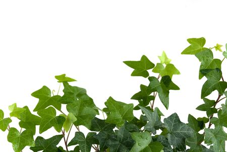 vine leaves: Green ivy isolated on white background