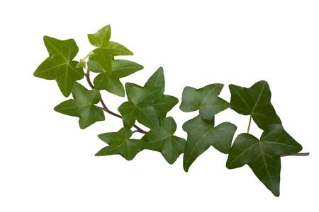 Green ivy isolated on white background, studio shot photo