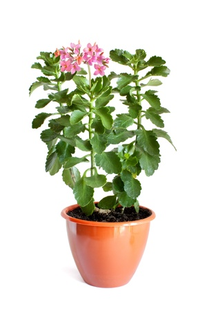 stalk flowers: Green home plant with pink flowers in flower pot isolated on white background