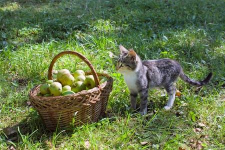 Little tabby kitten near a basket with green apples photo