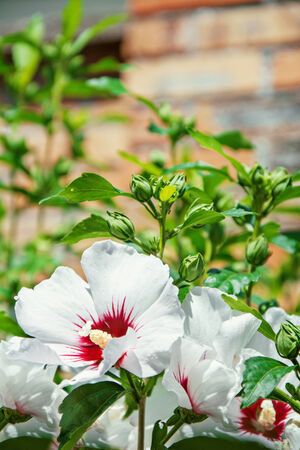 brisk: Beautiful white and red hibiscus flowers against the brisk wall Stock Photo