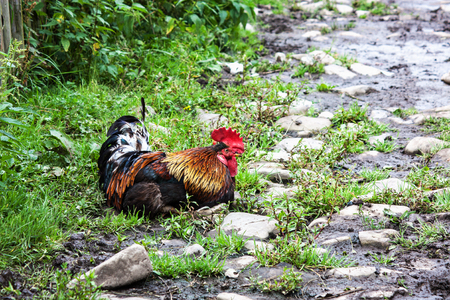 bantam hen: Beautiful rooster sitting on the grass Stock Photo