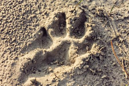 huellas de perro: huellas perro grande en la arena Foto de archivo