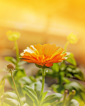 officinal: Beautiful orange calendula in gold light