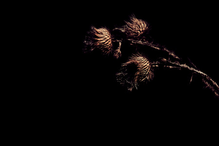 Dry milk thistle flower on black background