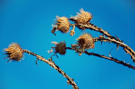 Dry milk thistle flower on sky background Stock Photo