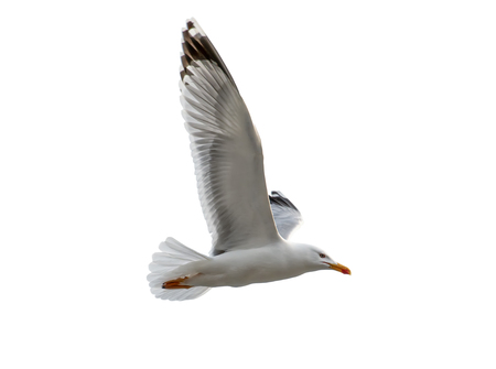 A seagull bird flying isolated on white background, close-up