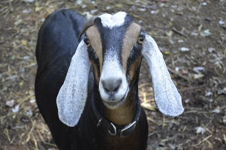 loveable: Cute, Adorable Goat Face