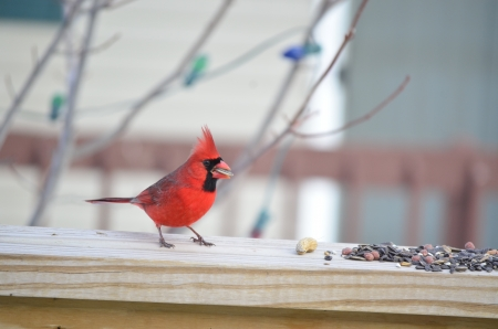 Male Cardinal  Cardinalis cardinalis  at a backyard feediing station  photo