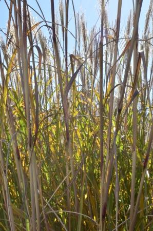 Tall Ornamental Grass and a blue sky background  Stok Fotoğraf