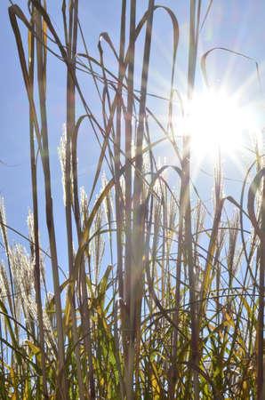 Tall Ornamental grass with sunburst at early evening  Stok Fotoğraf