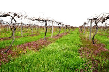 Young private vineyard on cold and cloudy spring day Stock Photo
