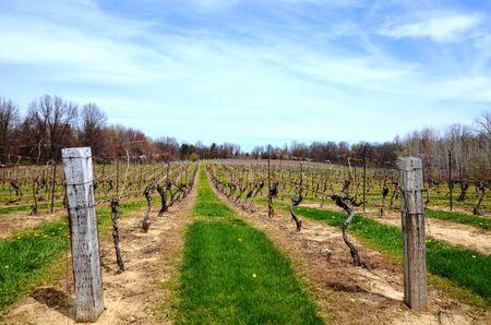 Early spring scene in the vineyard