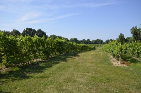 Large vineyard in the rural landscape