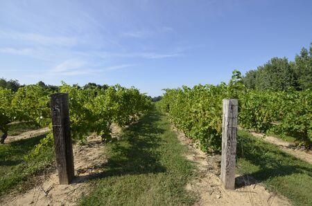 campagne rural: Des rang�es de vignes matures dans la campagne rurale