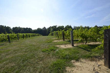 Large vineyard Stock Photo