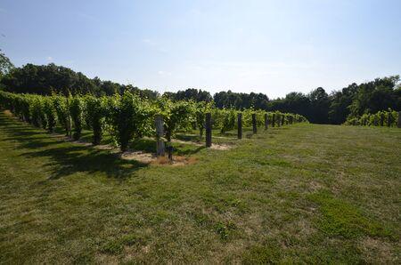 is established: Established vineyard on a sunny summer day Stock Photo