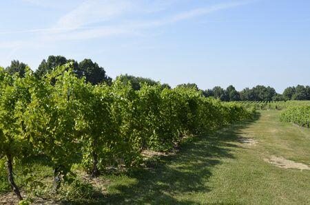 rural countryside: Rows of mature grapevines in the rural countryside Stock Photo