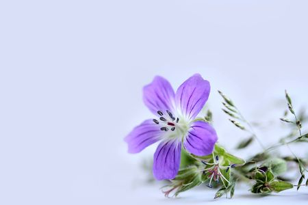 Lilac field flower and grass on a white background