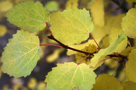 Branch of an aspen with yellow foliage Stock Photo