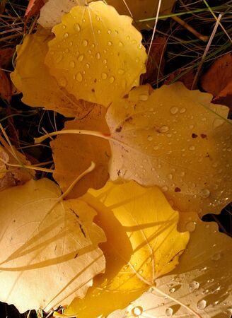 yellow foliage of an aspen, background Stock Photo