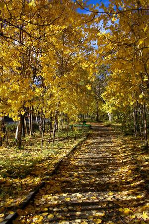 Autumn avenue, trees with yellow foliage, prospect Stock Photo