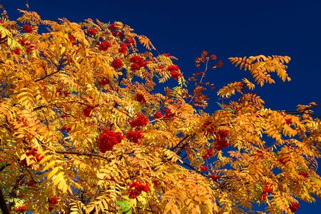 Autumn rowan-tree with yellow foliage on a background of the dark blue sky