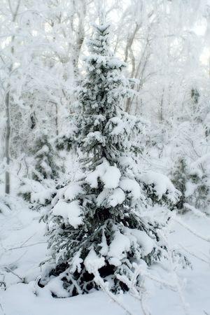 Winter landscape, Fur-tree under snow after snow-storm