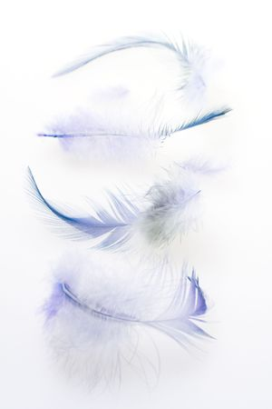 Some dark blue feathers on a white background photo