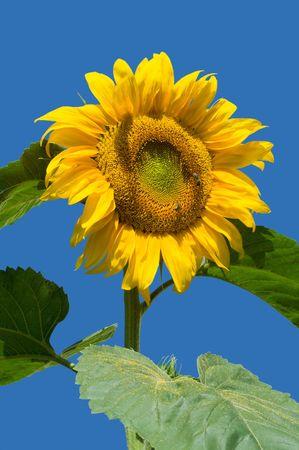 Sunflower and blue sky photo