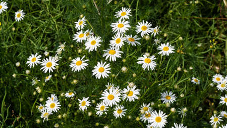 Beautiful bouquet of camomiles on sunny day in nature closeup. Daisy flowers, wildflowers, spring day. Many marguerites on rapeseed in garden with nice white petals and blossoms. Banner for web site