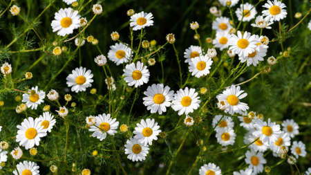 Beautiful field of camomiles on sunny day in nature closeup. Daisy flowers, wildflowers, spring day. Many marguerites on meadow in garden with nice white petals and blossoms. Banner for web site