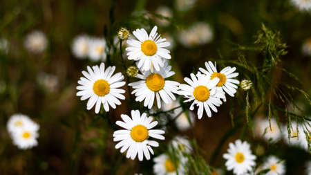 Beautiful bouquet of camomiles on sunny day in nature with blurred background closeup Daisy flowers wildflowers Many marguerites on meadow in garden with nice white petals blossoms Banner for web site