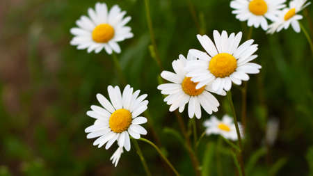 Beautiful bouquet of camomiles on sunny day in nature closeup. Daisy flowers, wildflowers, spring day. Many marguerites on meadow in garden with nice white petals and blossoms. Banner for web site Stock Photo