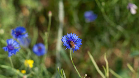 A bee collects pollen on cornflower petals in a field, close-up with a blurred background. Blue cornflower flower in the garden. Production of honey on wildflowers by bees. 스톡 콘텐츠