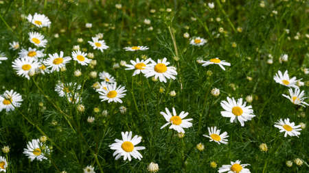 Beautiful bouquet of camomiles on sunny day in nature closeup. Daisy flowers, wildflowers, spring day. Many marguerites on meadow in garden with nice white petals and blossoms. Banner for web site 스톡 콘텐츠