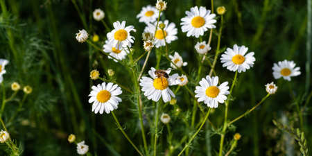 Bee sits on medicinal chamomile flower closeup. Beautiful bouquet of pharmacy daisy on green field. Collecting nectar by bees for honey production. Traditional alternative medicine. Banner for site 免版税图像
