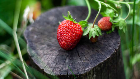 Three red strawberries lie on stump against background of green leaves. Beautiful composition of ripe strawberries on small hemp podium. Growing useful berries in garden. Photo taken closeup. Banner 免版税图像
