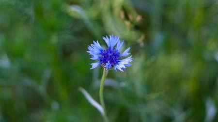 Blue cornflowers on field in Russia. Summer landscape on nature with blue cyanus field, desktop wallpaper, centaurea flower background. Wildflowers. Banner for web site
