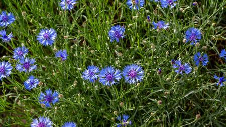 Blue cornflowers on a field in Russia. Summer landscape on nature with blue cyanus field, desktop wallpaper, centaurea flower background. Wildflowers. Banner for web site